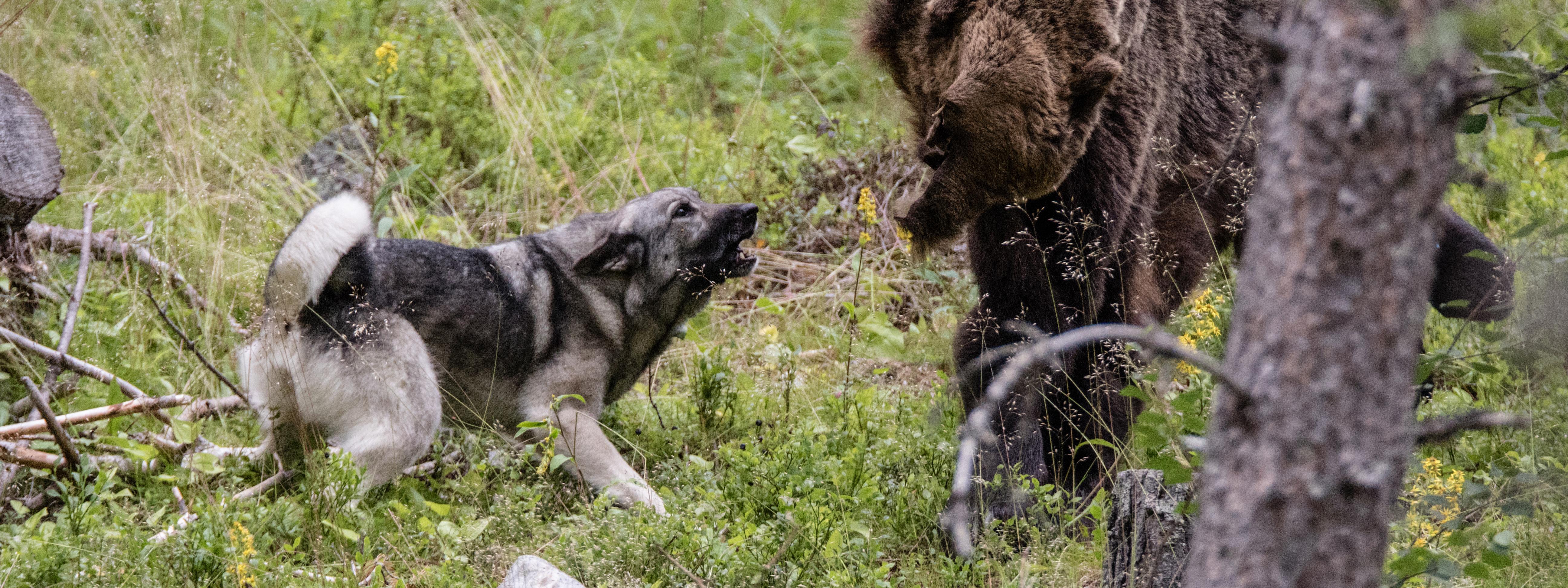 Björnjaktsutbildning